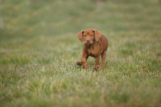 Венгерский щенок с короткими волосами, бегущий по лугу — стоковое фото