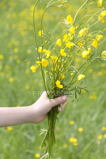 Cropped view of female hand holding bunch of buttercups — Stock Photo