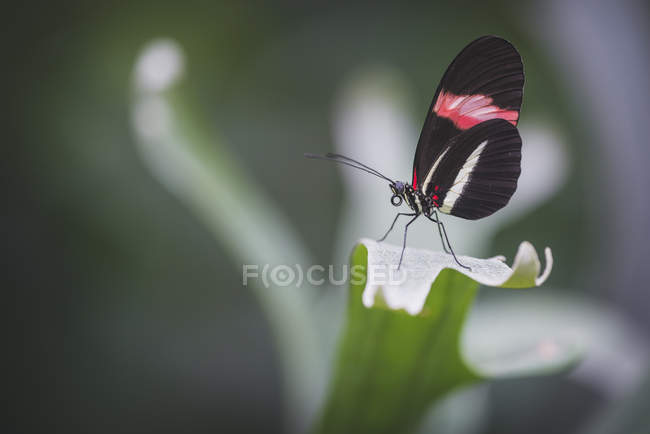 Postman butterfly on green stem — Stock Photo