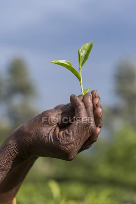 Шри-Ланка, руки держат чайные листья на открытом воздухе — стоковое фото