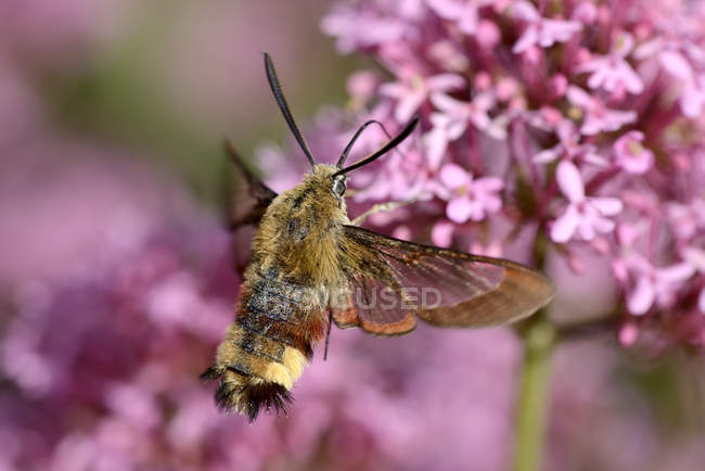 Bordure large bee-Sphinx — Photo de stock