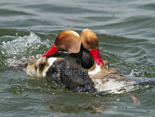 Уток мужской Красноносый нырок, имея бой в пруду — стоковое фото