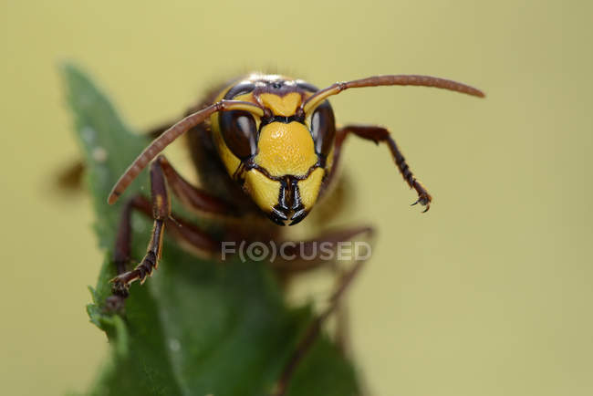 Retrato do hornet Europeia — Fotografia de Stock