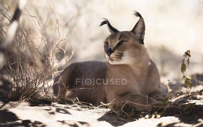 Ботсвана, Мон, каракал расслабиться в тени — стоковое фото