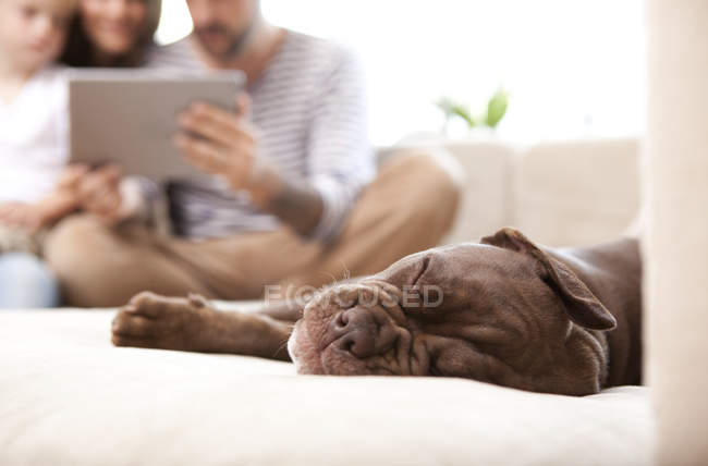 Olde English Bulldogge snoozing on the couch — Stock Photo