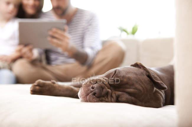 Olde English Bulldogge descansando en el sofá - foto de stock
