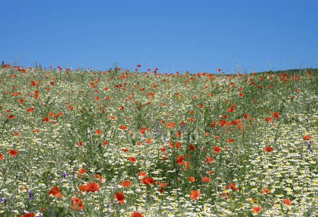 Austria, Lower Austria, Weinviertel, Falkenstein, flower meadow with poppies and marguerites — Stock Photo