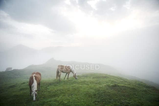 Austria, Kranzhorn, cavalli al pascolo sul pascolo della montagna — Foto stock
