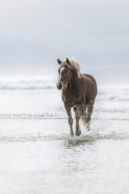 Cavallo marrone che corre su una spiaggia — Foto stock