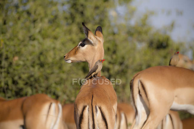 Botswana, Chobe National Park, oxpecker sitting on back of impala — Stock Photo