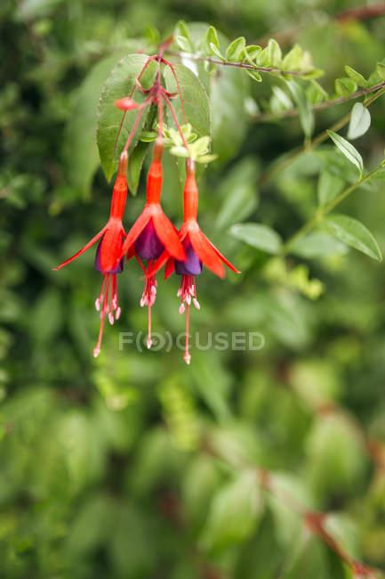 Заделывают Фуксия цветов, растущих в природе — стоковое фото