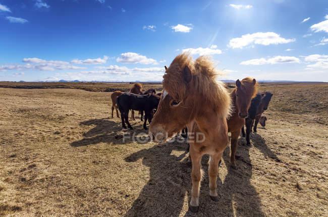 Islanda, cavallo islandese, caballus di ferus, vista del primo piano della mandria di pony — Foto stock