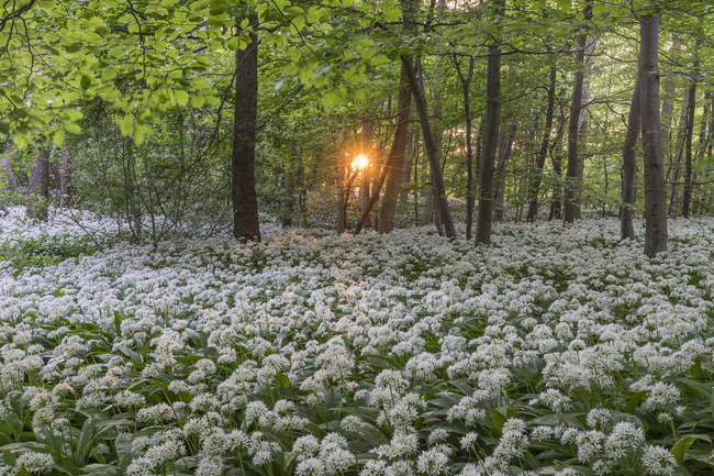 Germany, Wolfenbuettel, blossoming ramson at Elm Nature Park in the evening — Stock Photo