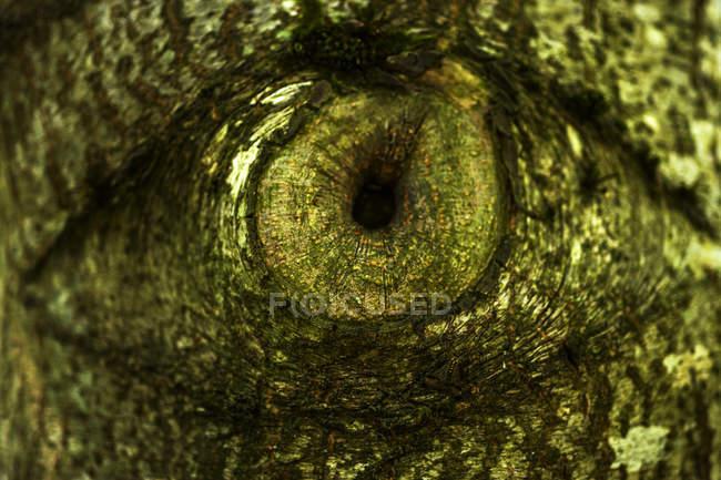 Tree eye of an oak, close-up — Stock Photo