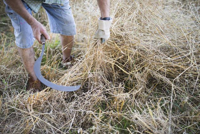 Espanha, agricultor cortando grama seca com foice — Fotografia de Stock