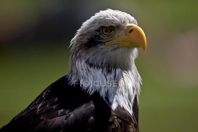 Vista de cerca de una cabeza de águila calva - foto de stock