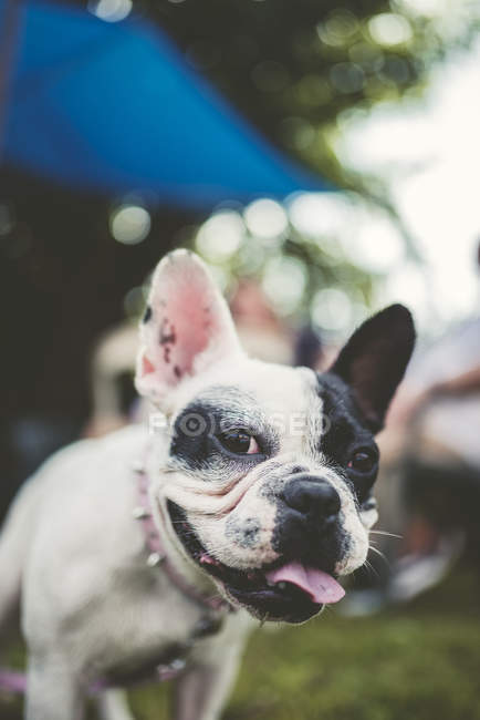French bulldog looking at camera outdoors — Stock Photo