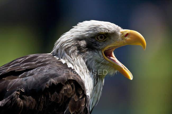 Águila calva, leucocephalus de Haliaeetus pájaro con el pico abierto - foto de stock