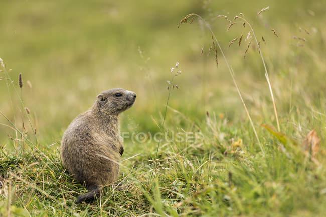 Сурок на зеленой траве в дневное время — стоковое фото