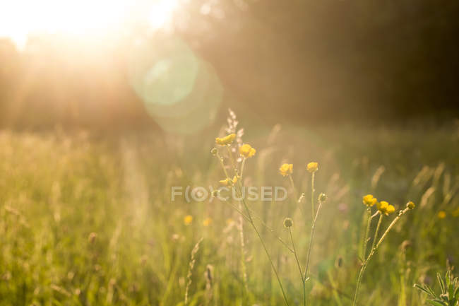 Buttercups on a meadow at evening light — Stock Photo