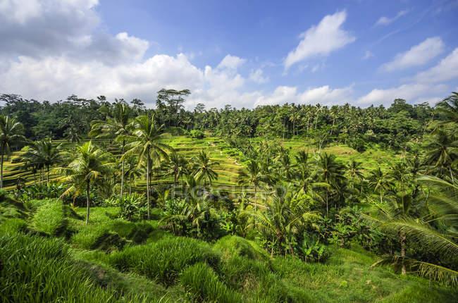 Індонезії Балі, Ubud, рисові поля поблизу Тегалаланг — стокове фото