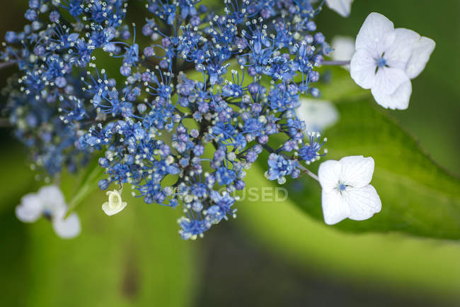 Detail of flower in summer, Viola striata — Stock Photo