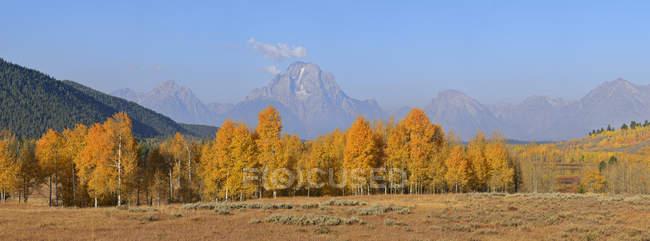 Mount Moran and fall colored Aspens at Grand Teton National Park, Jackson, Wyoming, USA — Stock Photo