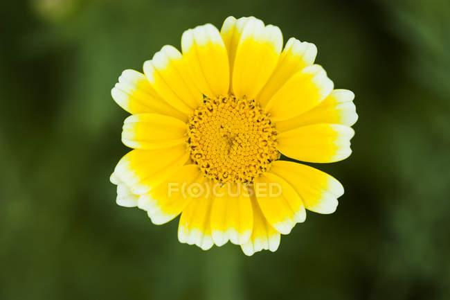 Garland Chrysanthemum on green blurred background — Stock Photo