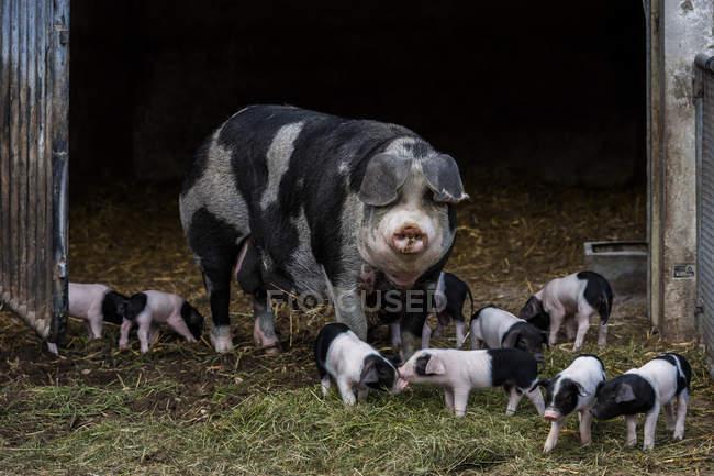Німеччина, Баварія, Otterfing, Domstic свиней, старі породи в Archehof Schlickenrieder — стокове фото