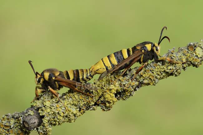 Las polillas de la Hornet de apareamiento en ramita, de cerca - foto de stock