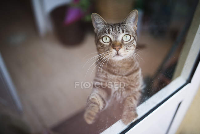 Tabby cat looking up through a window — Stock Photo