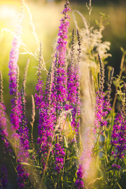 Purple loosestrife on a meadow at evening light — Stock Photo