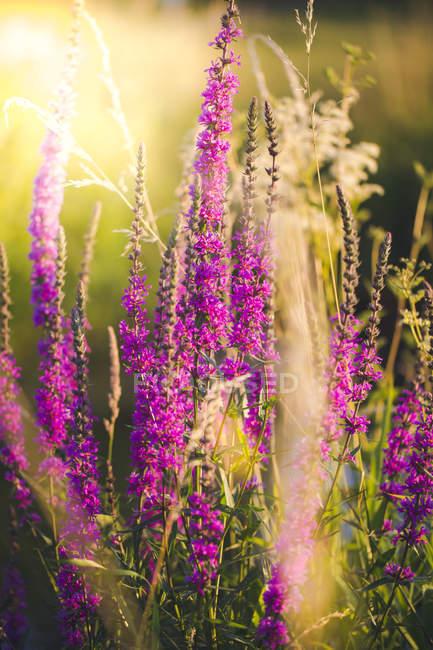 Purpurschimmel auf einer Wiese im Abendlicht — Stockfoto