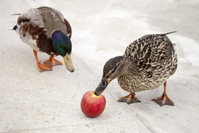 Due anatre e una mela vista sopraelevata — Foto stock