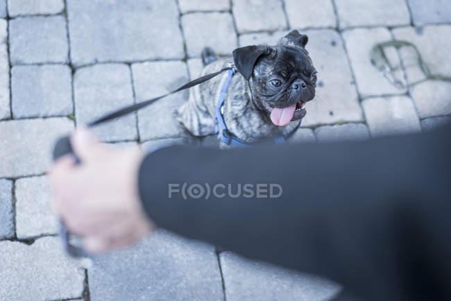 Обрезанное изображение женщины, держащей собаку свинца мопса на улице — стоковое фото
