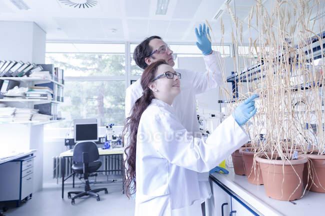 Labortechniker untersuchen Weizenpflanze im Labor — Stockfoto