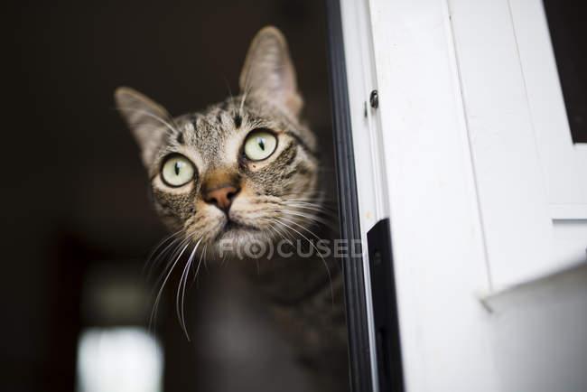 Erstaunt Tabbykatze Blick aus Fenster — Stockfoto