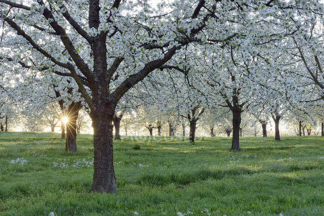 Germany, Black Forest, blossoming cherry trees with sunrays near sunrise at backlight — Stock Photo