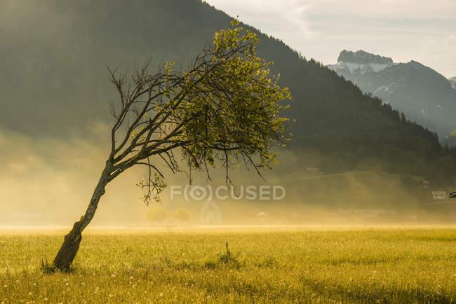 Germany, Oberstdorf, single bent beech on a hazy meadow — Stock Photo
