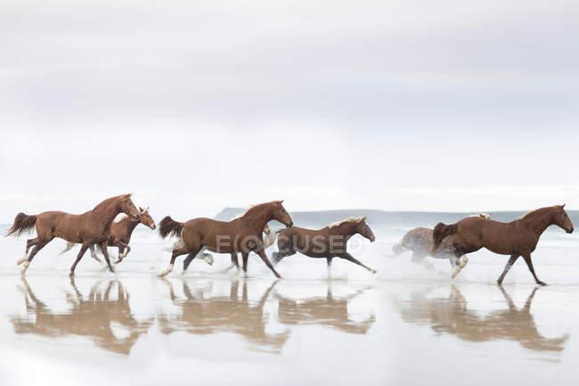 Braune Pferde laufen am Strand — Stockfoto