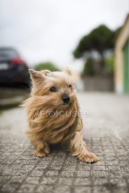 Yorkshire Terrier con i capelli che soffiano in piedi all'aperto — Foto stock