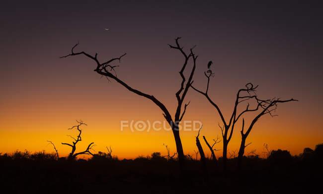 Марабу Ботсвані, Чобе Національний парк в дерево на заході сонця — стокове фото