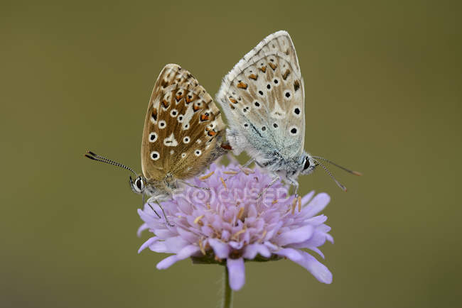 Deux papillons accouplement d'Argus bleu — Photo de stock