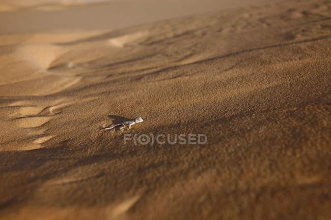Алжирский песчаный геккон — стоковое фото
