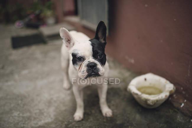 Bulldog francese in piedi all'aperto e guardando la fotocamera — Foto stock