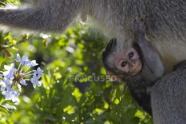 Afrique du Sud, Addo Elephant National Park, portrait de jeune singe vert — Photo de stock