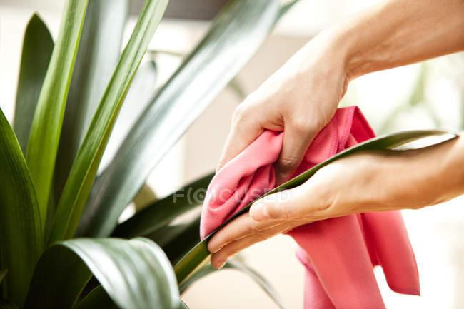 Жінка, витираючи листя рослини — стокове фото