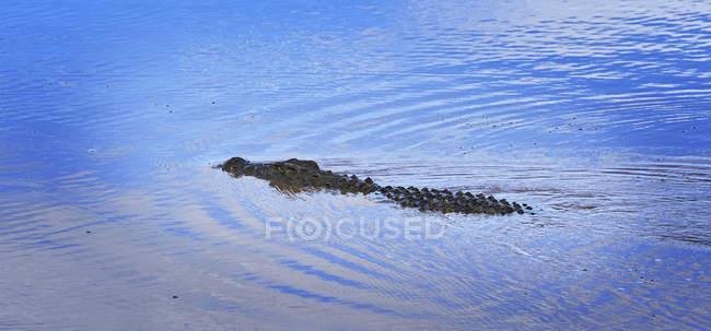 Closeup of swimming Nile crocodile at daytime, Etosha National Park, Namibia — Stock Photo