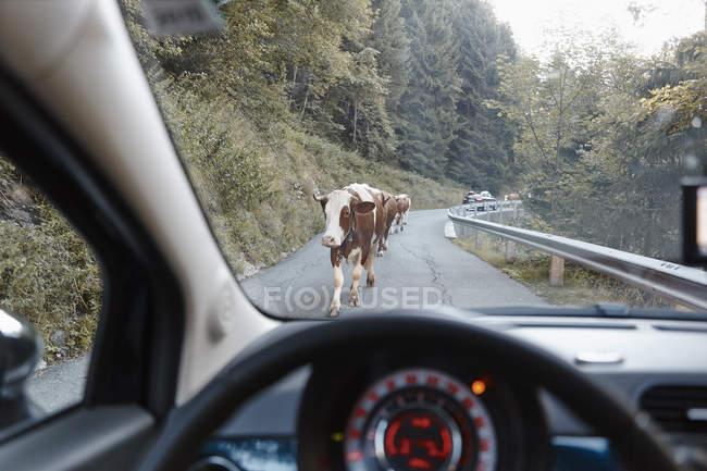 Áustria, Tirol Oriental, Parque Nacional Hohe Tauern, vacas em estrada de montanha — Fotografia de Stock