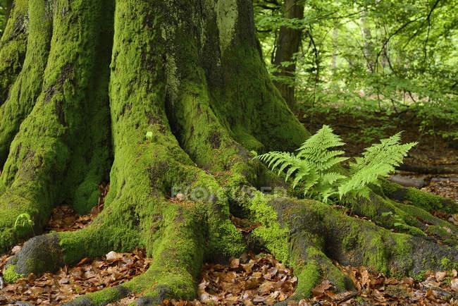 Германия, Reinhardswald, Папоротник на стволе дерева старого дерева бук — стоковое фото